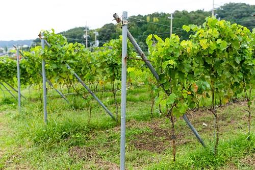 différentes variétés de plants de vigne